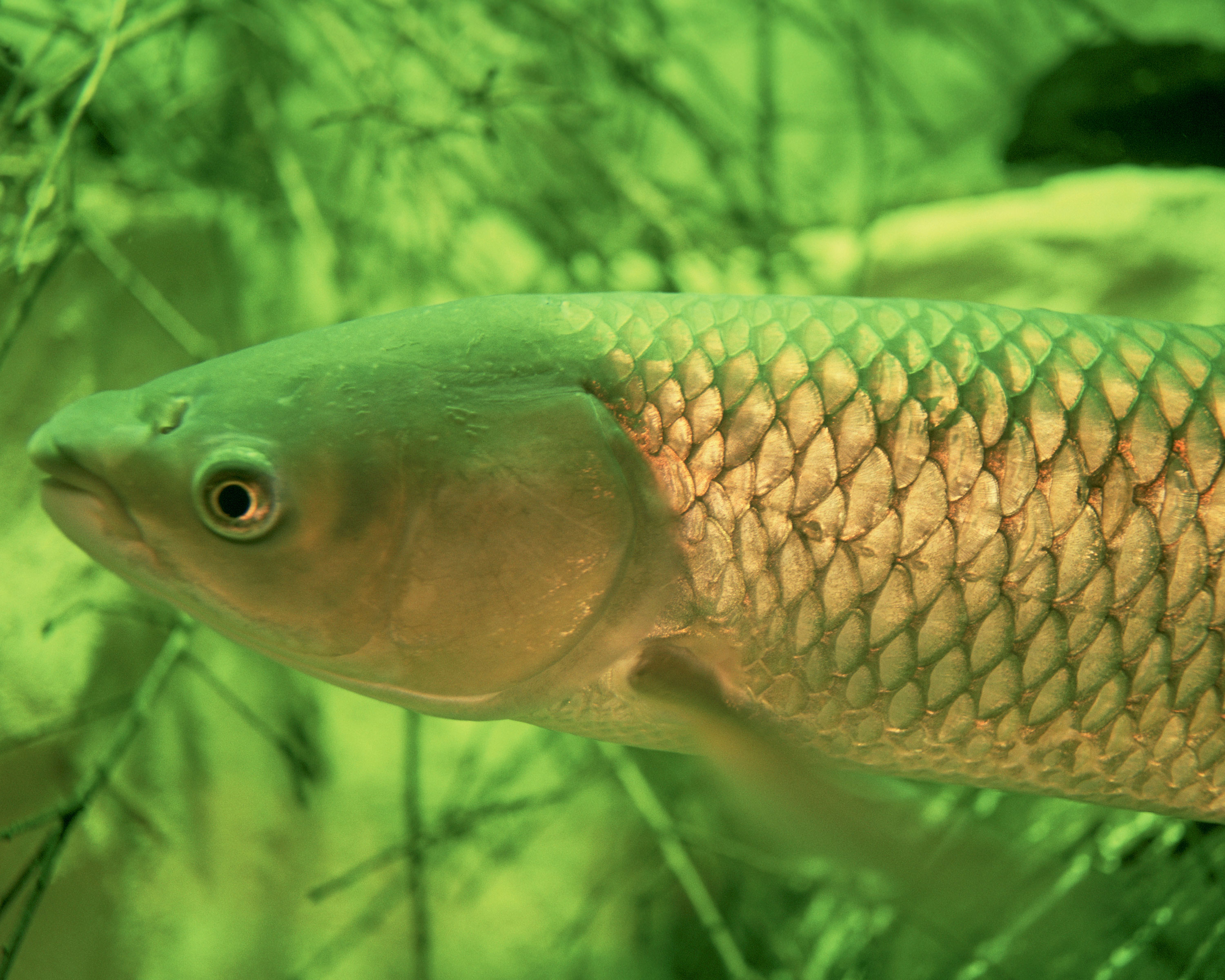 Study on the Risk of Grass Carp in the Great Lakes