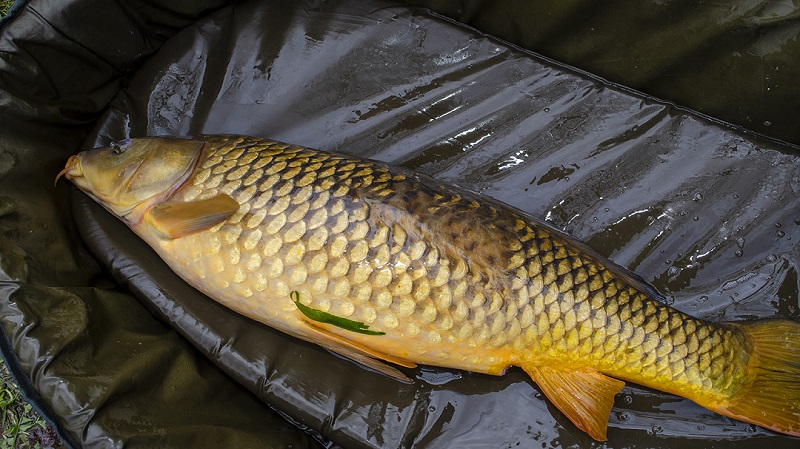 Should Carp In Ontario Be Considered A Sportfish?