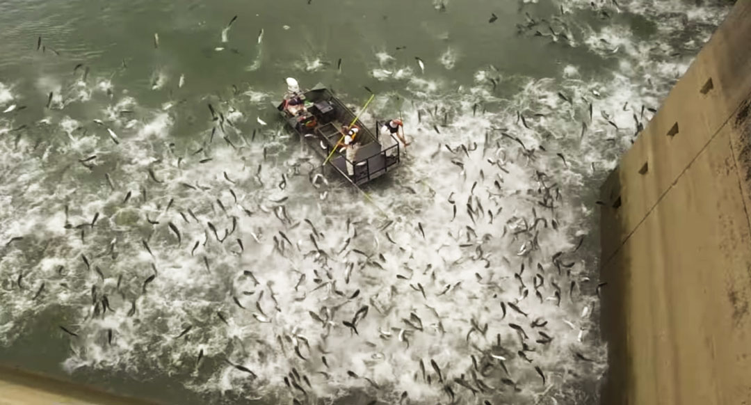 Getting the Jump on Asian Carp