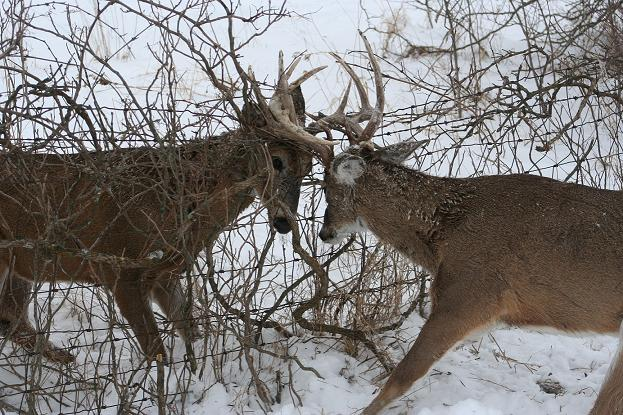 Two Locked Bucks Saved By Conservation Officer