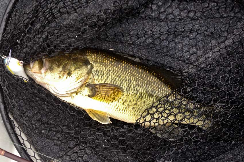 First fish of the day, a gorgeous fall Largemouth on a shallow SB Crankbait