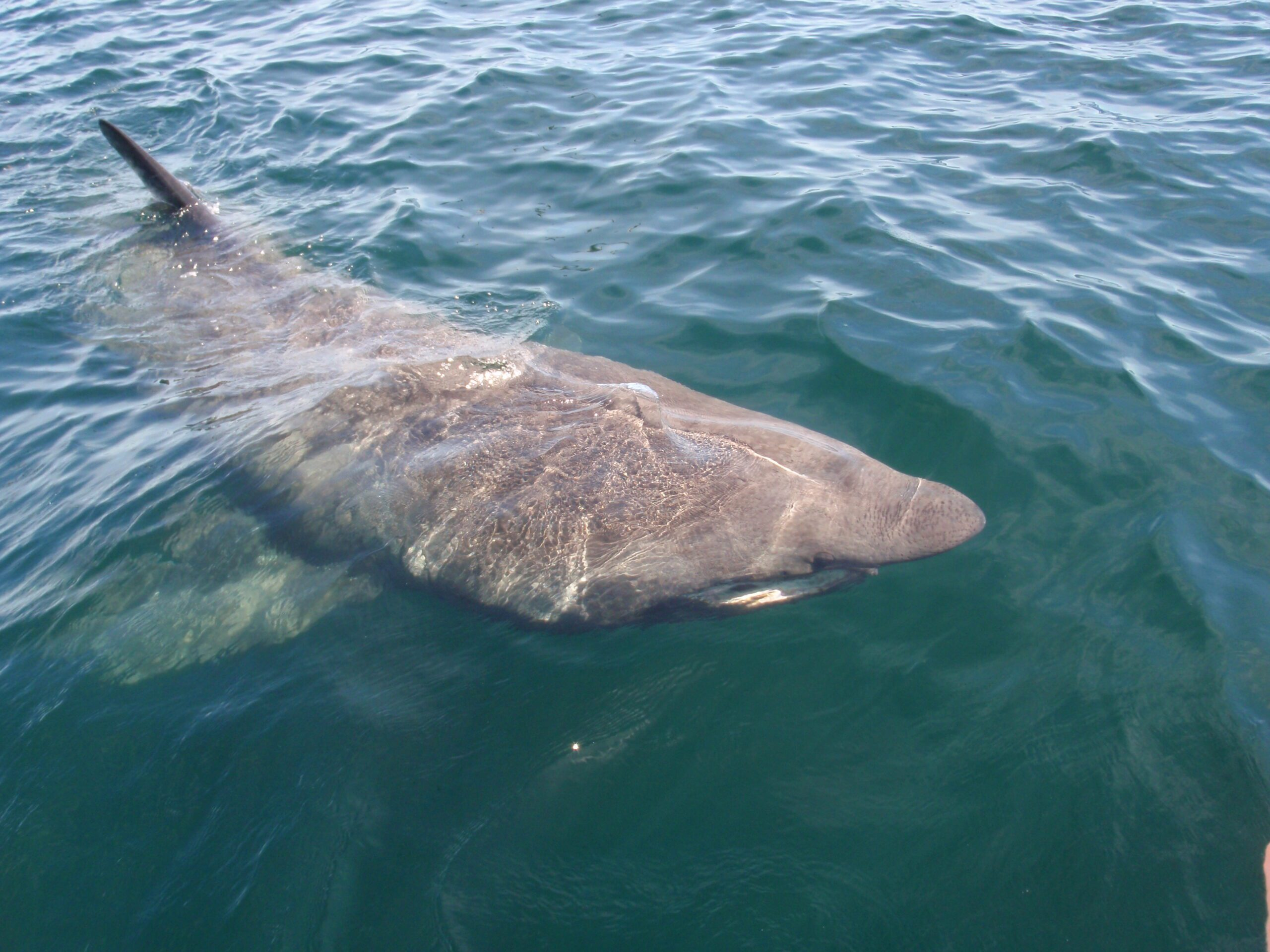 A Basking Shark viewed from above