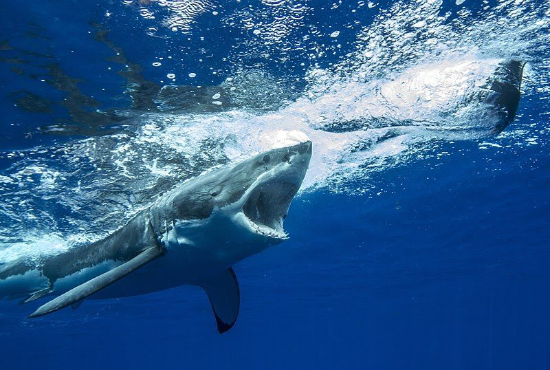 Great White Shark chasing a seal