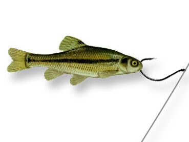 A minnow rigged on a dropshot rig