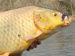 Stop Releasing your Pet Fish into the Wild