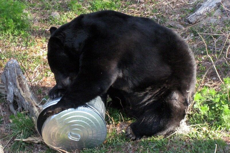 Black Bear on top of garbage can