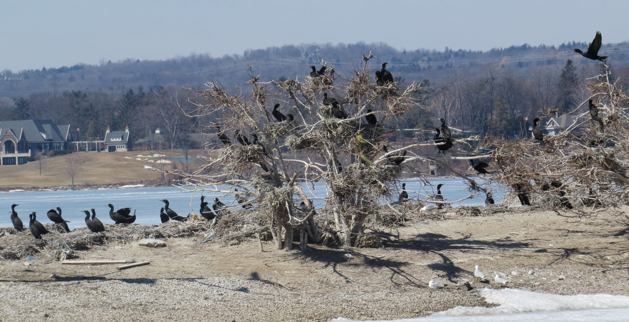 Ontario Minister Announces the Cormorant Hunt is On!